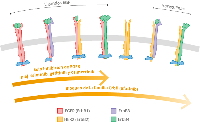 EGF, factor de crecimiento epidérmico; EGFR, receptor del factor de crecimiento epidérmico