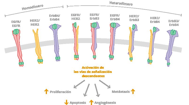 EGFR, receptor del factor de crecimiento epidérmico